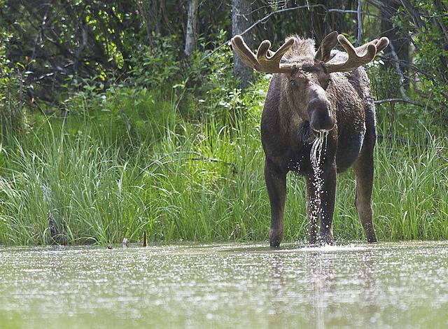 Moose 4 | Flickr - Photo Sharing!