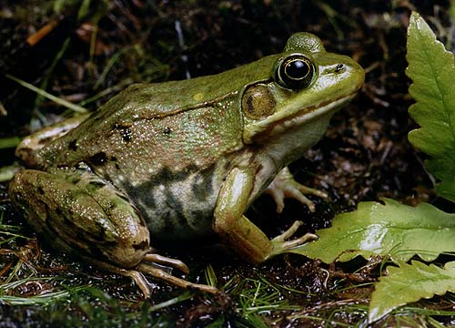 greenfrog.jpg 500×360 pixels