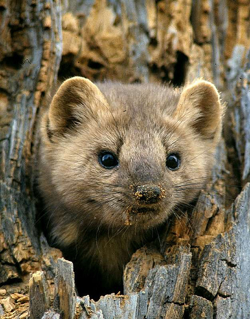 dirty nosed pine marten | Flickr - Photo Sharing!