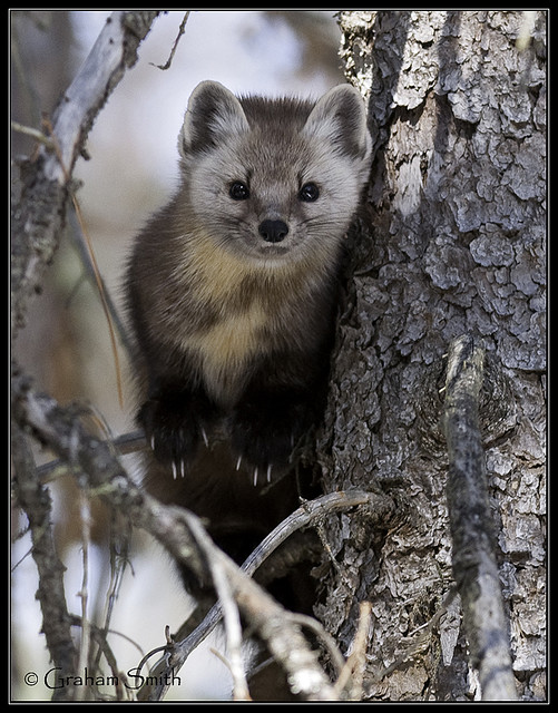 Pine Marten | Flickr - Photo Sharing!