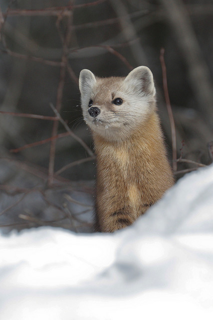 Pine Marten #4 | Flickr - Photo Sharing!
