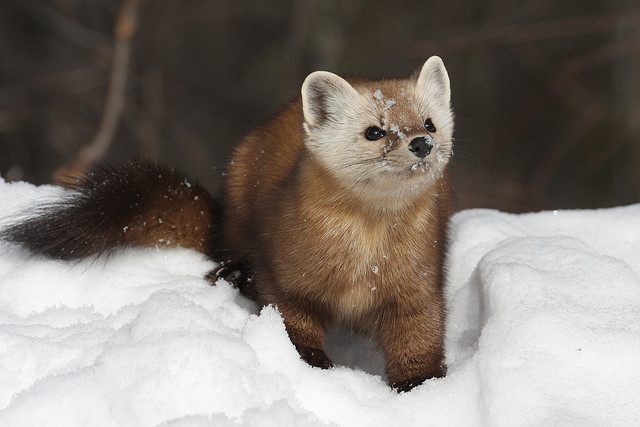 Pine Marten #1 | Flickr - Photo Sharing!