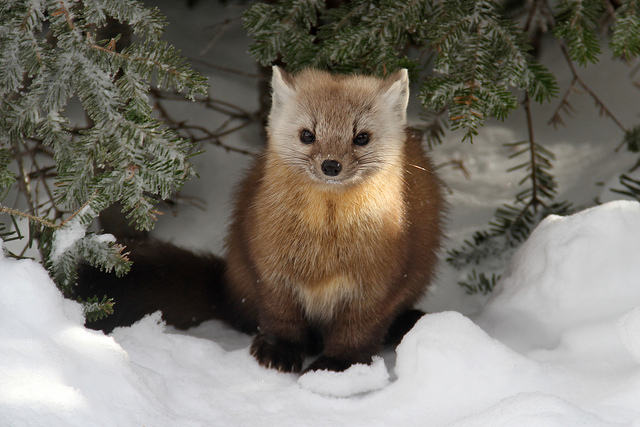 Pine marten, White Mountain National Forest, NH | Flickr - Photo Sharing!