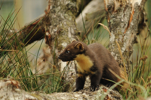 European Pine Marten | Flickr - Photo Sharing!
