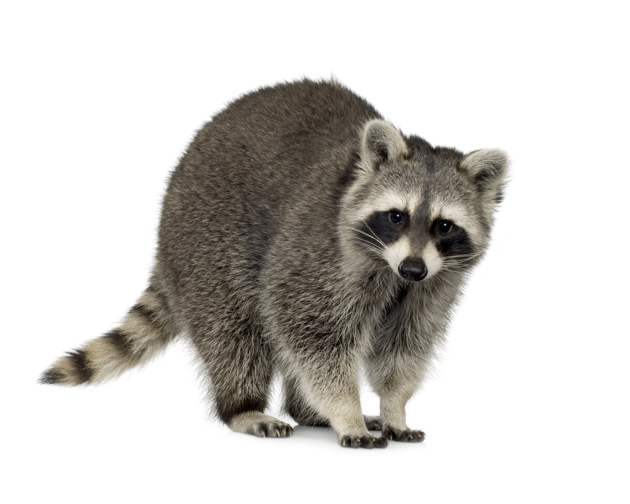 Raccoon.JPG (JPEG Image, 2090x1672 pixels)