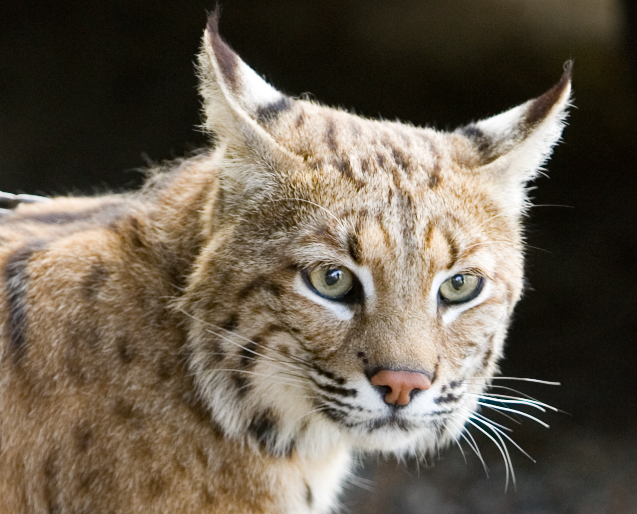 Bobcat_7.JPG (JPEG Image, 1268x1023 pixels) - Scaled (54%)