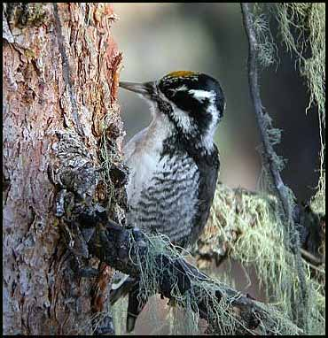 Google Image Result for http://sdakotabirds.com/species/photos/three_toed_woodpecker.jpg