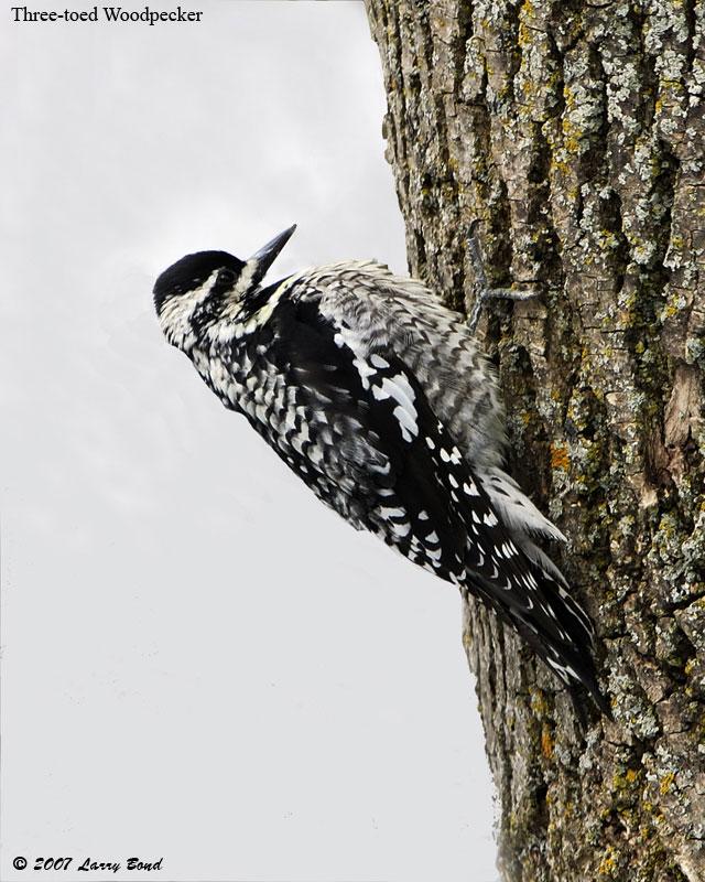 Three-toed_Woodpecker-3.jpg (JPEG Image, 640x800 pixels)