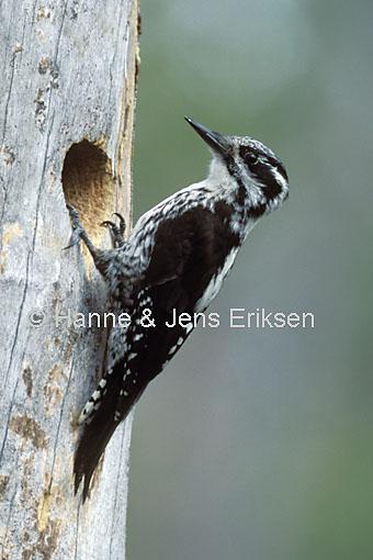 EurasianThreetoedWoodpecker-03588.jpg (JPEG Image, 340x510 pixels)