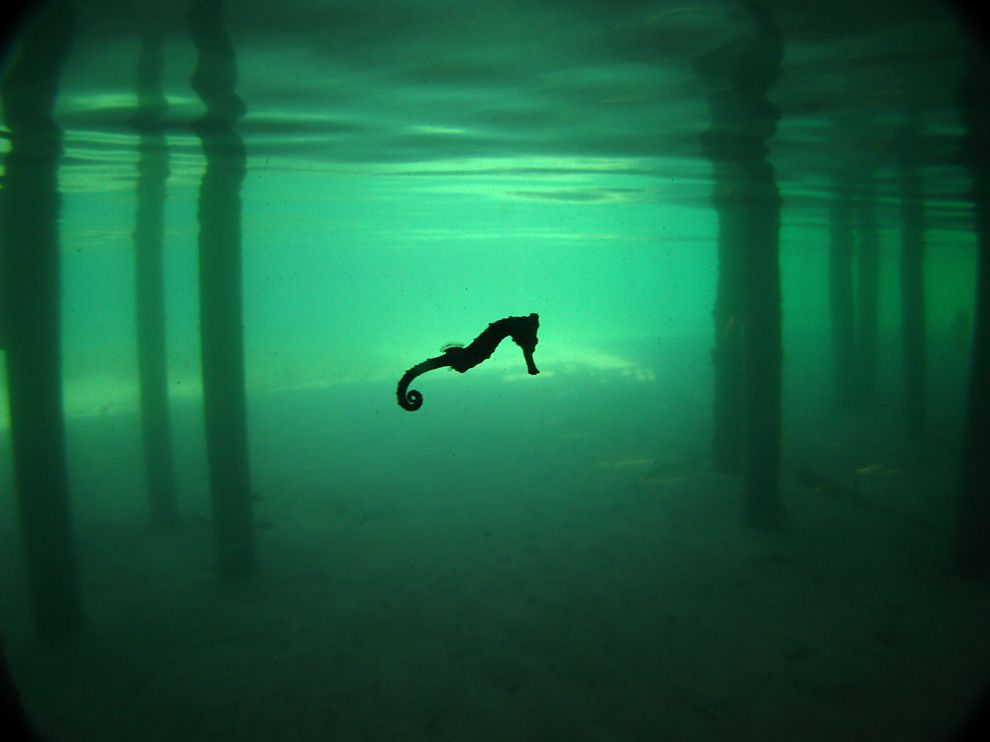 Seahorse Picture – Underwater Photo - National Geographic Photo of the Day