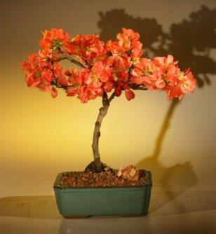 Japanese Flowering Quince Bonsai Tree Chaenomles 'Toyo Nishiki'   eBay