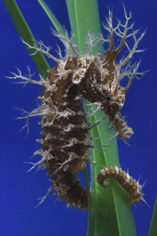 The Secret Lives of Seahorses | Monterey Bay Aquarium