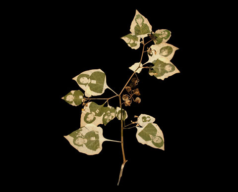 Binh Danh invented the chlorophyll printing process in which photographic images appear embedded in leaves through photosynthesis   Feature Shoot