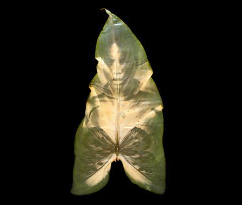 Binh Danh invented the chlorophyll printing process in which photographic images appear embedded in leaves through photosynthesis | Feature Shoot