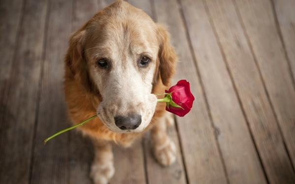 animals,dogs animals dogs pets roses 1920x1200 wallpaper – animals,dogs animals dogs pets roses 1920x1200 wallpaper – Animal Wallpaper – Desktop Wallpaper