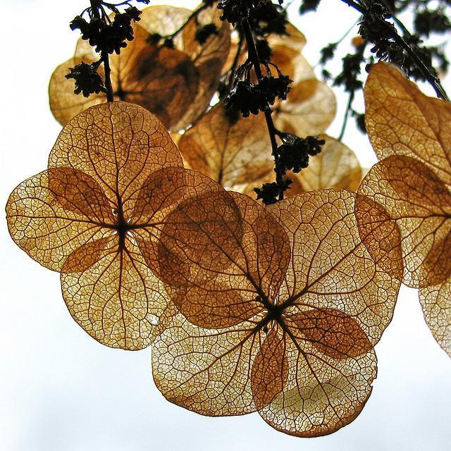 ????? Art ????????? 10/16/09-Hydrangea | Flickr - Photo Sharing!
