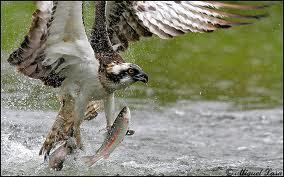osprey hunting - Google Search