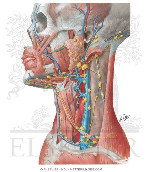 Lymph Vessels and Nodes of Head and Neck - Netter Medical Illustrations