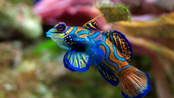 blue,orange blue orange fish underwater mandarinfish 1920x1080 wallpaper – blue,orange blue orange fish underwater mandarinfish 1920x1080 wallpaper – Fish Wallpaper – Desktop Wallpaper