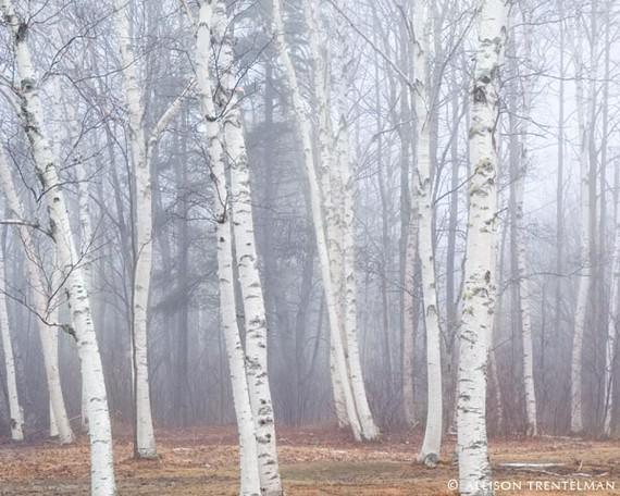 Birch Tree Art Print Nature Photography Tree by NatureMandalas