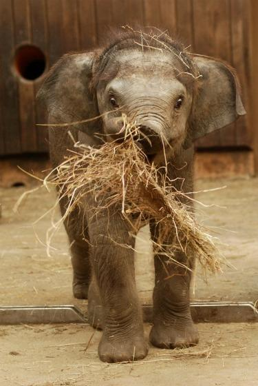 She Likes Pink: First Baby Elephant in Czech and Slovak Zoos - ZooBorns