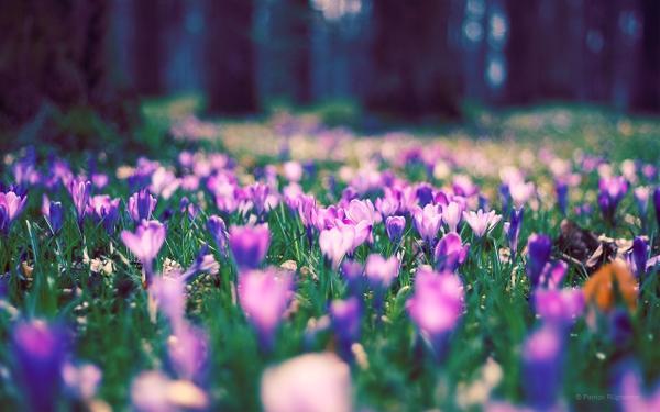 nature,flowers nature flowers crocus 2560x1600 wallpaper – nature,flowers nature flowers crocus 2560x1600 wallpaper – Flowers Wallpaper – Desktop Wallpaper