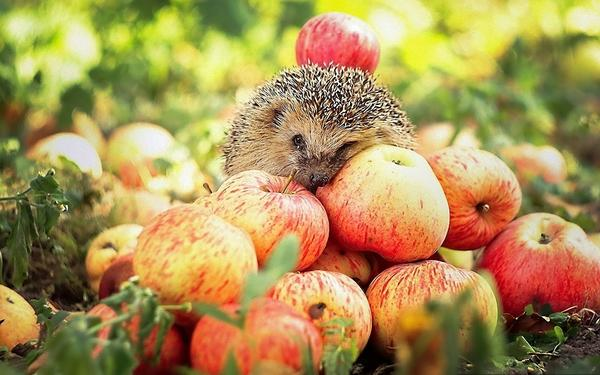 animals,wildlife animals wildlife hedgehogs apples 1920x1200 wallpaper – animals,wildlife animals wildlife hedgehogs apples 1920x1200 wallpaper – Wildlife Wallpaper – Desktop Wallpaper
