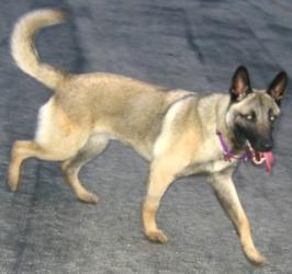 Petfinder Adoptable Dog | Belgian Shepherd Malinois | Memphis, TN | Parker