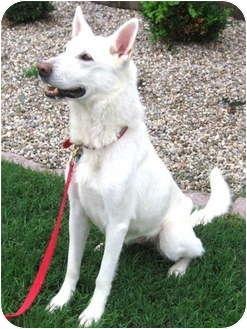 Adopt a Pet :: Hayley - Memphis, TN - German Shepherd Dog