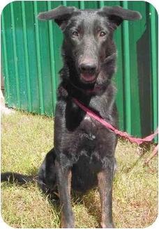 Adopt a Pet :: Sheba - Holly Springs, MS - German Shepherd Dog