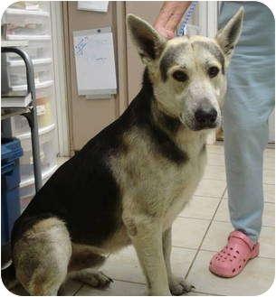 Adopt a Pet :: Deacon - Pisgah, AL - German Shepherd Dog