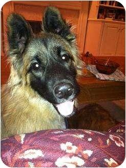 Adopt a Pet :: Spike - Brentwood, TN - German Shepherd Dog/Collie Mix