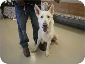 Adopt a Pet :: Armadeus - Decatur, AL - German Shepherd Dog Mix