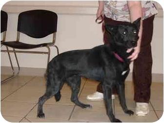 Adopt a Pet :: Peggy Sue - Somerset, KY - German Shepherd Dog/Border Collie Mix