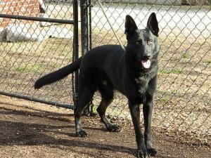 Petfinder Adoptable Dog | German Shepherd Dog | Nashville, TN | Geo