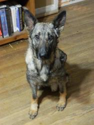 Petfinder Adoptable Dog | German Shepherd Dog | Nashville, TN | Jewel