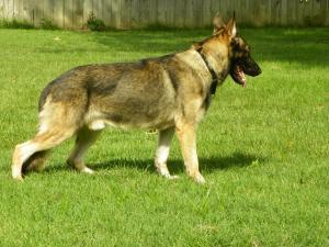 Petfinder Adoptable Dog   German Shepherd Dog   Memphis, TN   Santos