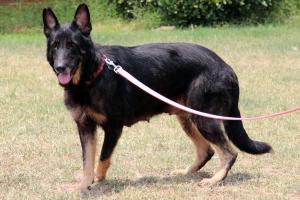 Petfinder Adoptable Dog | German Shepherd Dog | Dacula, GA | Star