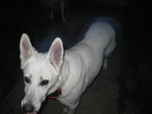 Petfinder Adoptable Dog | German Shepherd Dog | Greeneville, TN | Sheeba