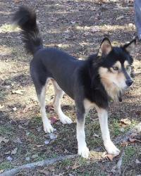 Petfinder Adoptable Dog | Husky | Little Rock, AR | Israel
