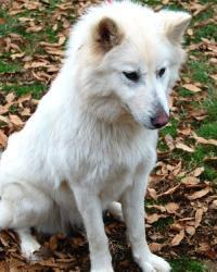 Petfinder Adoptable Dog | Spitz | Franklin, TN | LUNA