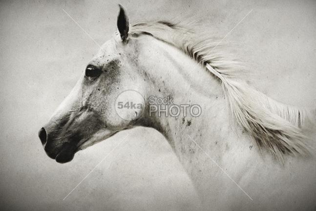 The White Horse - Animals Photography - 54ka StockPhoto