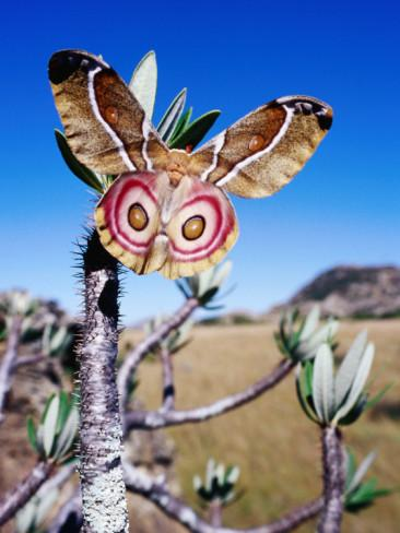 The female silk moth will not fly until she's...