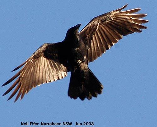 Google Image Result for http://www.umaryland.edu/bin/v/b/flying%2520raven.jpg