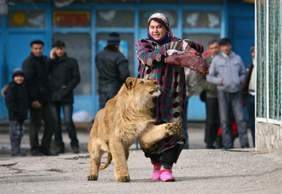 woman takes lion for a walk photo | one big photo