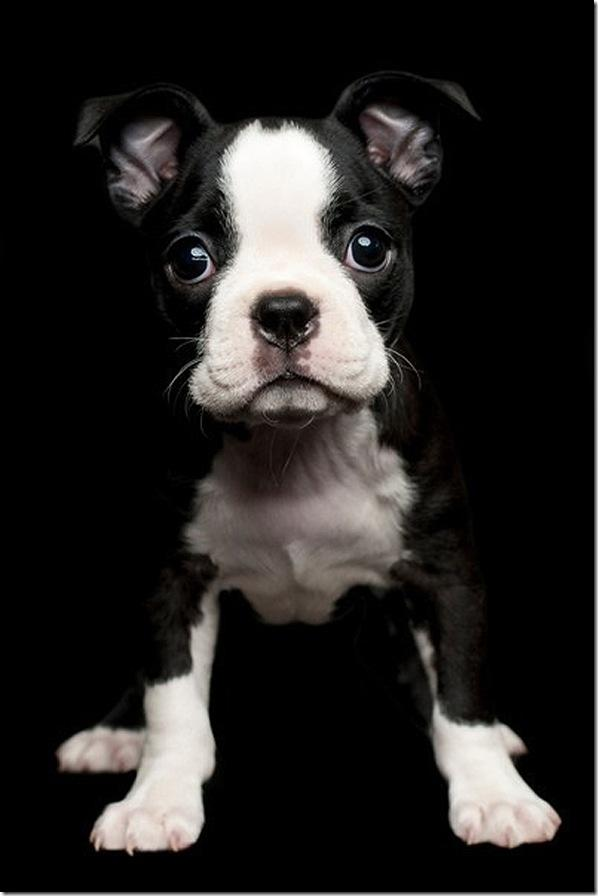 Nice-Boston-Terrier-Puppy-Pictures.jpg 598×896 pixels