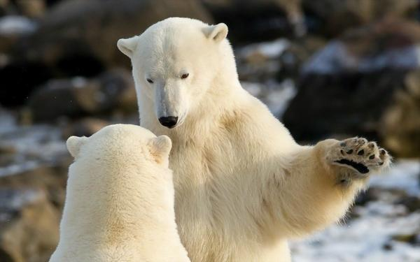 animals,polar bears animals polar bears – Bears Wallpapers – Free Desktop Wallpapers