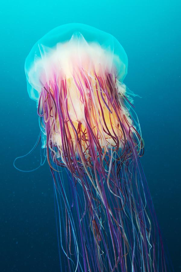 Underwater Experiments: Astounding Photographs of Jellyfish by Alexander Semenov | Colossal