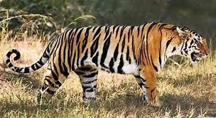 tiger - Google Search