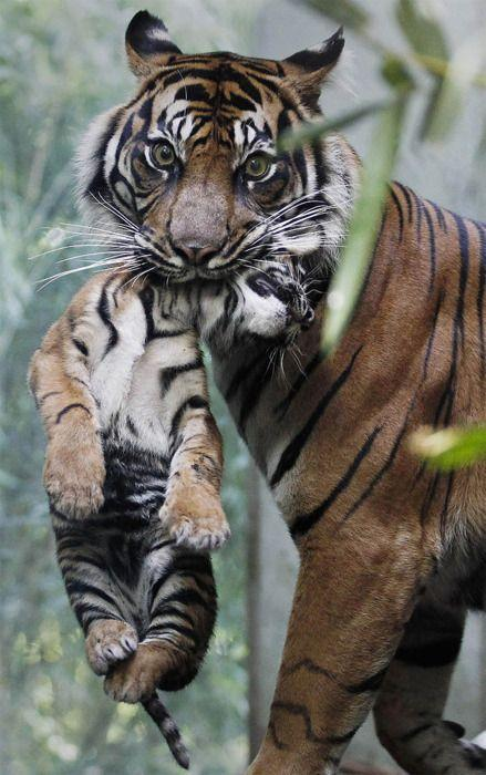 Tigger mom & baby | Animals